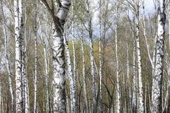 Troncos de los árboles de abedul en bosque Imagen de archivo libre de regalías