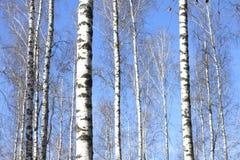 Troncos de los árboles de abedul en bosque Foto de archivo libre de regalías