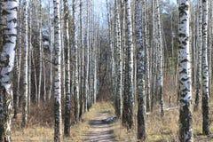 Troncos de los árboles de abedul en bosque Fotos de archivo