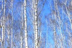 Troncos de los árboles de abedul en bosque Fotografía de archivo