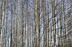 Troncos de los árboles de abedul en bosque de la primavera Imagen de archivo
