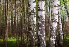 Troncos de los árboles de abedul en el bosque septentrional Imagen de archivo