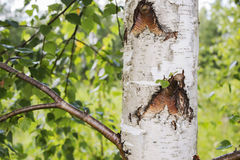 Troncos de los árboles de abedul en el primero plano Fotos de archivo