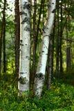 Troncos de los árboles de abedul en luz del sol Imagenes de archivo