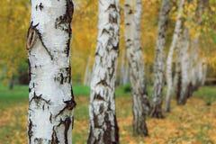Troncos de los árboles de abedul en parque del otoño Foto de archivo libre de regalías