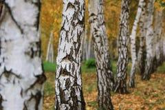 Troncos de los árboles de abedul en parque del otoño Imágenes de archivo libres de regalías