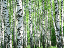 Troncos de los árboles de abedul en primavera Fotos de archivo