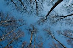 Troncos de los árboles de abedul y del cielo azul Fotos de archivo libres de regalías