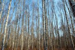 Troncos de los árboles de abedul y del cielo azul Imagen de archivo libre de regalías