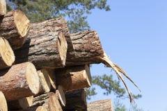 Troncos de los árboles, de la madera y del cielo de pino Imagen de archivo libre de regalías