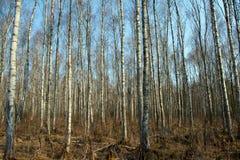 Troncos de los árboles y de las raíces de abedul Imágenes de archivo libres de regalías