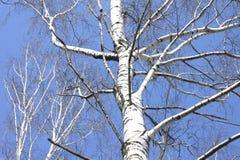 Troncos de los abedules blancos contra el cielo azul Fotografía de archivo libre de regalías