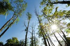 Troncos de los altos árboles de pino Foto de archivo