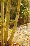 Troncos de palmeira Fotografia de Stock
