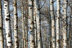 Troncos de árbol del invierno Fotografía de archivo