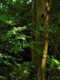 Troncos de tres árboles Imágenes de archivo libres de regalías