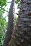 Troncos de uma palma de Madagáscar (lamerei de Pachypodium) Imagens de Stock Royalty Free