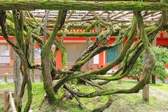 Troncos del árbol del floribunda de la glicinia cubierto con el musgo que sube encendido Fotografía de archivo