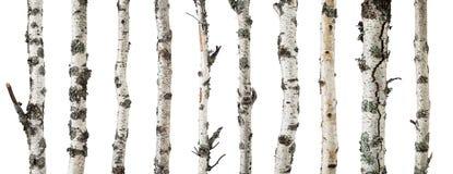 Troncos del abedul aislados en el fondo blanco Fotografía de archivo libre de regalías