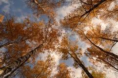 Troncos del abedul con las hojas de otoño Imagenes de archivo