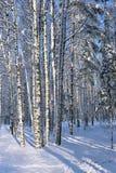 Troncos del abedul cubiertos con nieve Imágenes de archivo libres de regalías