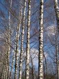 Troncos del abedul de la primavera en el fondo del cielo Foto de archivo libre de regalías