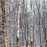Troncos del abedul en bosque del invierno Fotografía de archivo