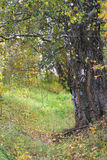 Troncos del abedul en un bosque. Imagen de archivo