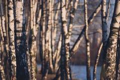 Troncos del abedul encendidos igualando luz del sol Bosque otoñal Imagen de archivo libre de regalías