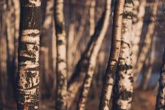 Troncos del abedul encendidos igualando luz del sol Bosque otoñal Foto de archivo
