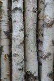 Troncos del abedul para la leña, la madera constructiva o la decoración Betula Papyrifera Fondo de madera natural Imagen de archivo