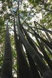 Troncos del bambú en Mauricio Foto de archivo libre de regalías