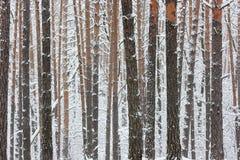 Troncos del invierno de árboles Fotos de archivo libres de regalías