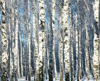Troncos del invierno de los árboles de abedul en luz del sol Fotos de archivo libres de regalías