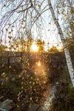 Troncos del otoño de abedules Fotografía de archivo