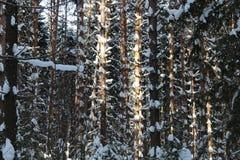 Troncos del pino en bosque del invierno Fotografía de archivo libre de regalías
