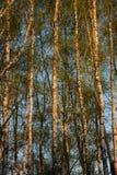Troncos delgados de abedules en los rayos del sol Imagenes de archivo