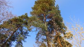 Troncos do pinho em um fundo do céu azul imagens de stock royalty free