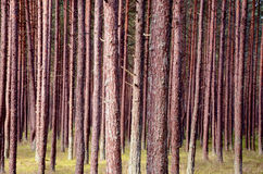 Troncos do pinho na floresta Fotos de Stock Royalty Free