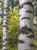 Troncos do vidoeiro na floresta Foto de Stock