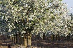 Troncos florecientes de la huerta de cereza amarga Foto de archivo libre de regalías