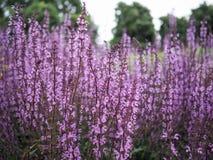 Troncos púrpuras de la flor, Salvia Serenade imágenes de archivo libres de regalías