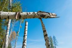 Troncos quebrados de los árboles de abedul Fotografía de archivo