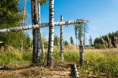 Troncos quebrados de los árboles de abedul Imagen de archivo