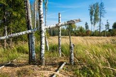 Troncos quebrados de los árboles de abedul Fotos de archivo