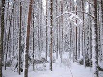 Troncos rojos nevados del pino y de abetos del bosque del invierno Imagen de archivo