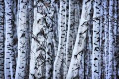 Troncos sitiados por la nieve de abedules en el bosque Imagen de archivo libre de regalías