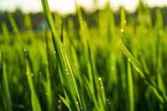Troncos verdes brillantes largos del arroz como fondo foto de archivo libre de regalías