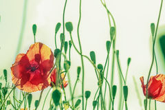Troncos verdes curvados de la amapola y brotes de flor rojos Imagen de archivo libre de regalías