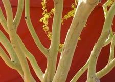 Troncos verdes de Palo Verde Fotografía de archivo libre de regalías